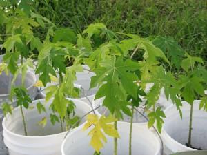 papaya seedlings in buckets