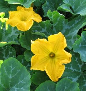 calabaza in bloom