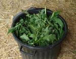 comfrey in dustbin