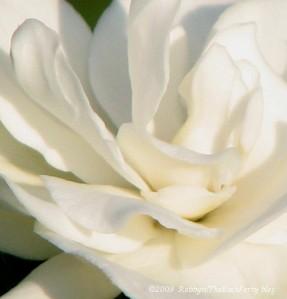 gardenias in bloom