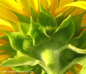 sunflower closeup2