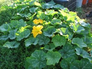 Volunteer plant