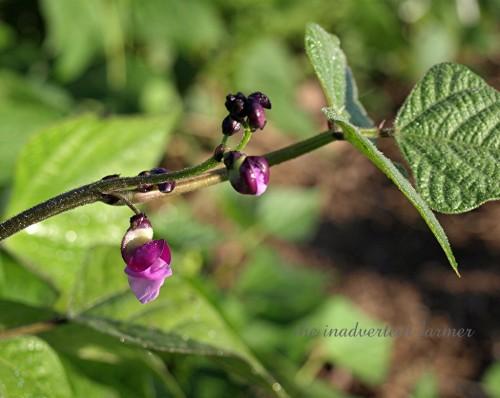 bean blossom