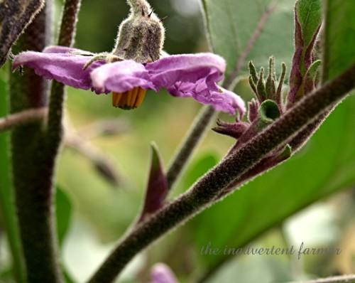 eggplant bloom
