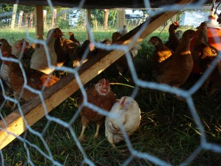 chickensupclose