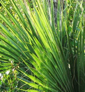 palmettos