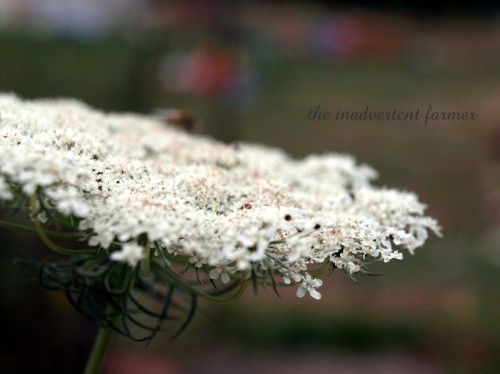 queen's lace1