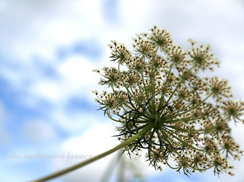 queen's lace2