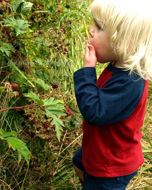 blackberry picking6