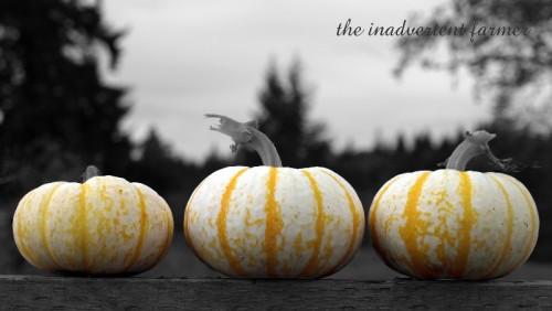 blk wht pumpkins