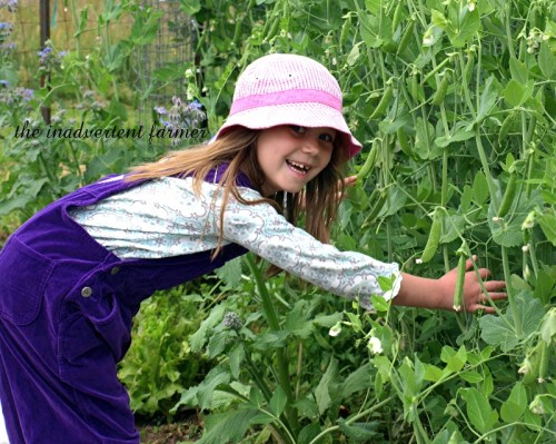 pea picking1