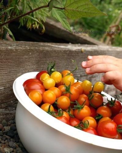 tomato napper3