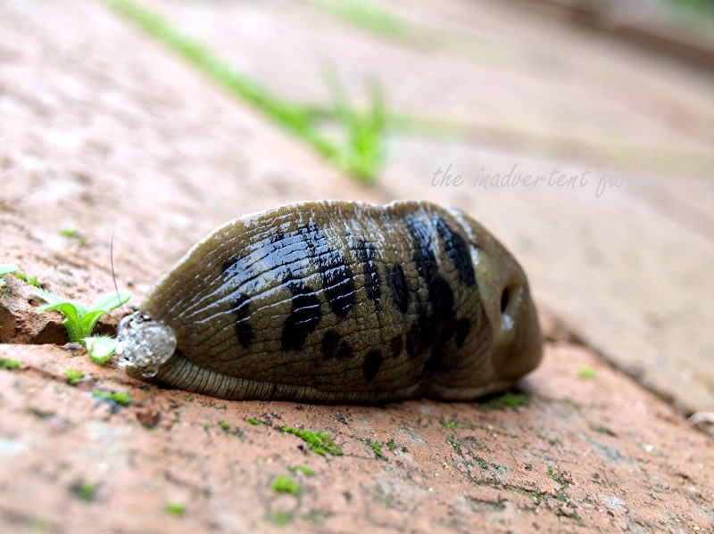 how to get rid of slugs in herb garden