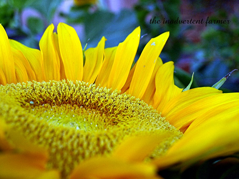 Sunday Photos….All Things Yellow   Not Dabbling In Normal