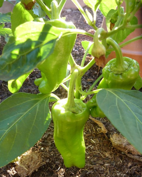 Cubanella pepper 4-19-2013