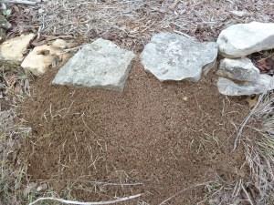 Fire ants 3