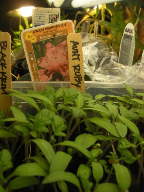 Seedlings Aunt Ruby