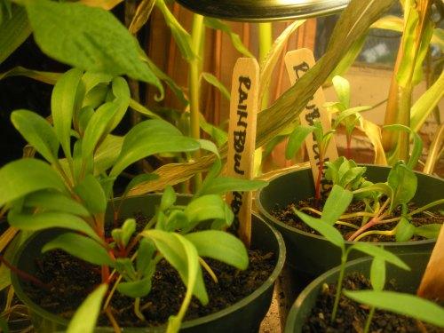 Seedlings Rainbow Chard