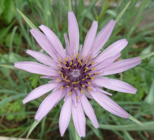 The flower from Salsify (root vegetable)