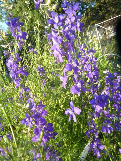 volunteer larkspur