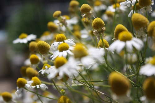 Chamomile ready to harvest