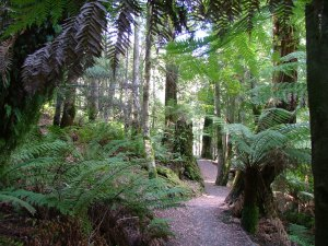 Cool Temperate Sclerophyll Forest track in Northern Tasmania