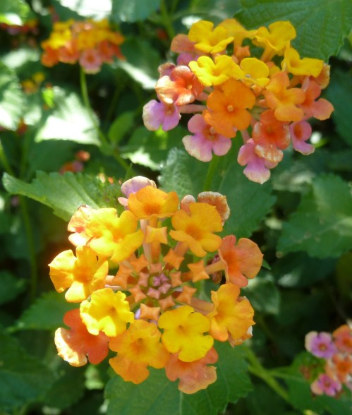 Texas Native - Native Lantana