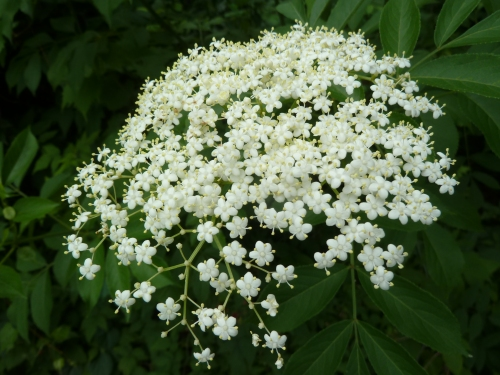 Elder in Bloom