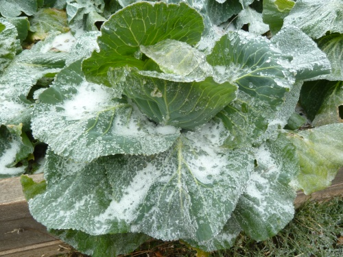 Ice Cabbage - Jan 2014