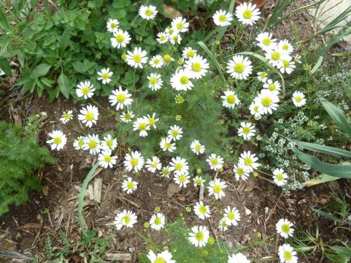 Chamomile 2 (Matricaria recutita)