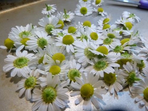Chamomile (Matricaria recutita)