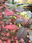Fall color, Botanic 2(Verbena)